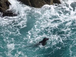 Zeehondjes bij Mizen Head