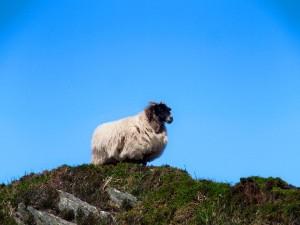 Tijdens deze wandeling kom je heel wat schapen tegen!