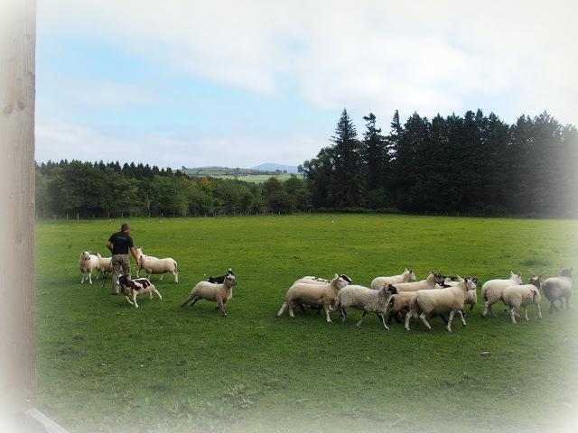 Demonstratie schapendrijven op Russborough House