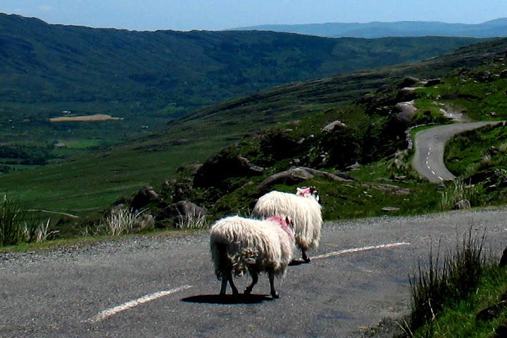 Schapen op de Healy Pass