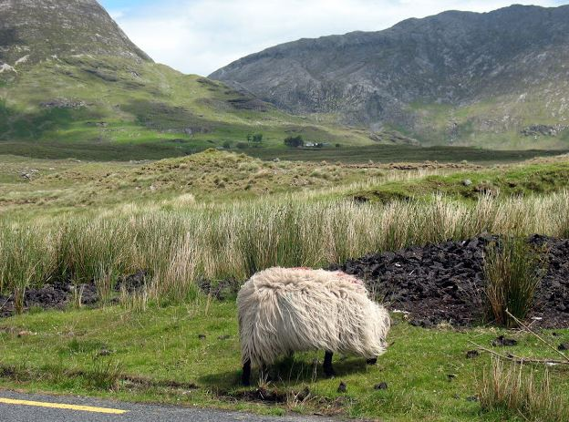 Sheep Connemara