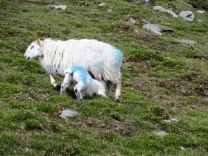 Er zijn ontzettend veel schapen op dit eiland!