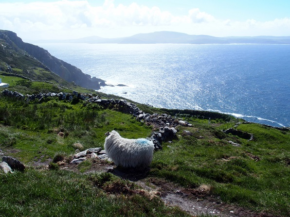Sheeps head