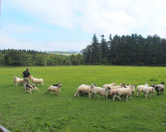 In een idyllische omgeving wordt de demonstratie schapen drijven gehouden.
