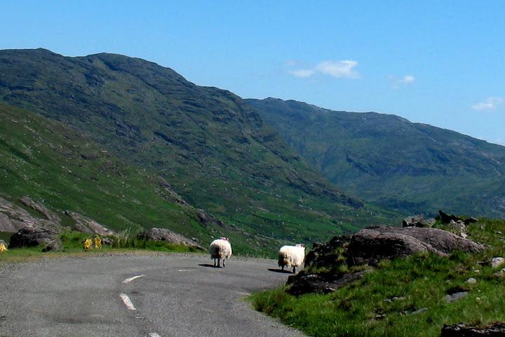 Schapen op de top van de Healy Pass.