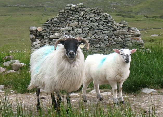 Sheep Achill